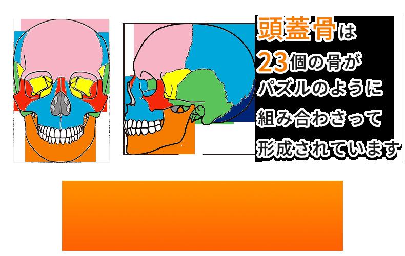 頭蓋骨は23個の骨で形成されている